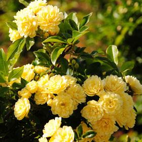 【7号鉢2年生苗】モッコウバラ 黄八重(自家栽培の健康台木使用)