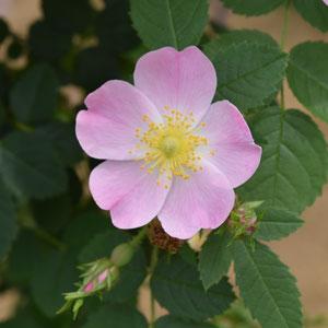 【7号鉢2年生苗】ロサ エグランテリア(自家栽培の健康台木使用)