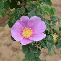 【7号鉢2年生苗】ロサ シナモメア(自家栽培の健康台木使用)