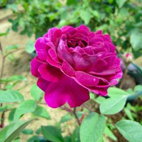 【新苗4号ポット】紫玉(自家栽培の健康台木使用)