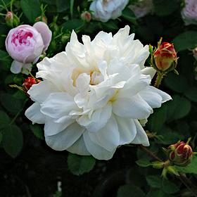【新苗4号ポット】ホワイト プロバンス(自家栽培の健康台木使用)