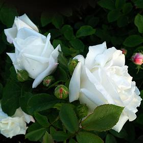 【7号鉢2年生苗】フラウ カール ドルシュキ(自家栽培の健康台木使用)