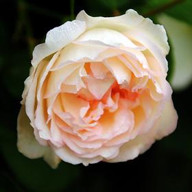 【7号鉢2年生苗】ホワイト デュシェス ドゥ ブラバン(自家栽培の健康台木使用)