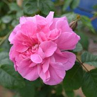 【プレゼント苗】マダム サンシー ドゥ パラベール(自家栽培の健康台木使用)
