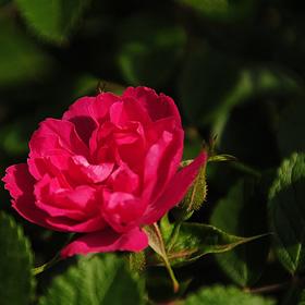 【7号鉢2年生苗】F.J. グルーテンドルスト(自家栽培の健康台木使用)