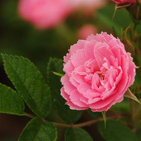 【7号鉢2年生苗】ピンク グルーテン ドルスト(自家栽培の健康台木使用)