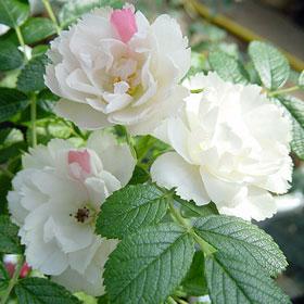【大苗7号鉢】ホワイト グルーテン ドルスト(自家栽培の健康台木使用)
