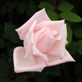 【大苗7号鉢】花嫁(自家栽培の健康台木使用)