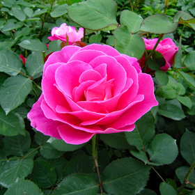 【大苗7号鉢】ピンク ピース(自家栽培の健康台木使用)
