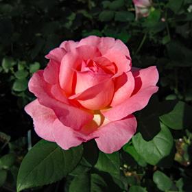 【7号鉢2年生苗】ピンク パンサー(自家栽培の健康台木使用)