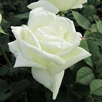 【7号鉢2年生苗】ホワイト クリスマス(自家栽培の健康台木使用)