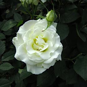 【7号鉢2年生苗】ホワイト マスターピース(自家栽培の健康台木使用)
