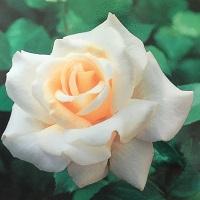 【新苗4号ポット】レーシー レディ(自家栽培の健康台木使用)