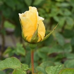 【新苗4号ポット】ジーナ ロロブリジータ(自家栽培の健康台木使用)