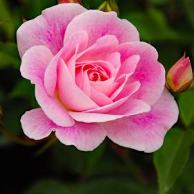 【7号鉢2年生苗】ピンク アイスバーグ(自家栽培の健康台木使用)