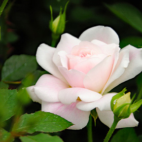【大苗7号鉢】ピンク シフォン(自家栽培の健康台木使用)