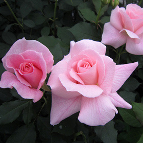 【大苗7号鉢】ブライダル ピンク(自家栽培の健康台木使用)
