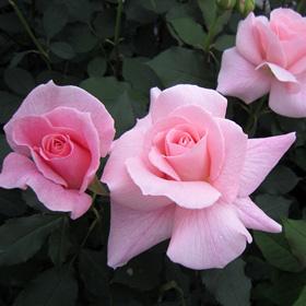 【新苗4号ポット】ブライダル ピンク(自家栽培の健康台木使用)