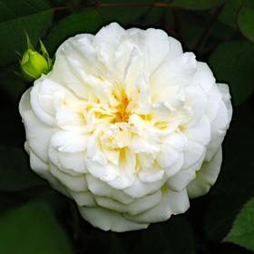【大苗7号鉢】ホワイト グルース アン アーヘン(自家栽培の健康台木使用)