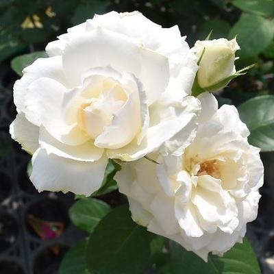 【7号鉢2年生苗】プリンセス オブ ウェールズ(自家栽培の健康台木使用)