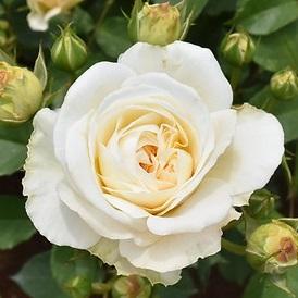 【新苗4号ポット】ホワイト グルース アン アーヘン(自家栽培の健康台木使用)