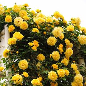 【7号鉢2年生苗】つる ゴールド バニー (自家栽培の健康台木使用)