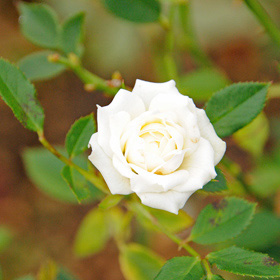 【7号鉢2年生苗】ホワイト ジェム(自家栽培の健康台木使用)