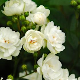 【大苗7号鉢】アンナ マリー ド モントラベル(自家栽培の健康台木使用)
