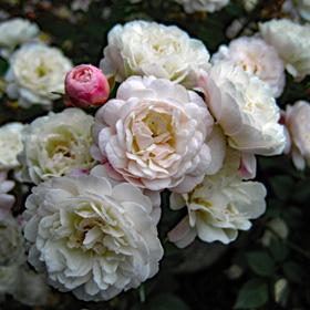 【7号鉢2年生苗】リトル  ホワイト ペット(自家栽培の健康台木使用)