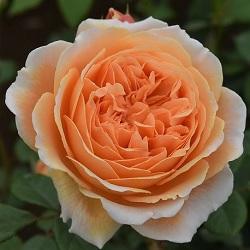 【7号鉢2年生苗】クラウン プリンセス マルガリータ