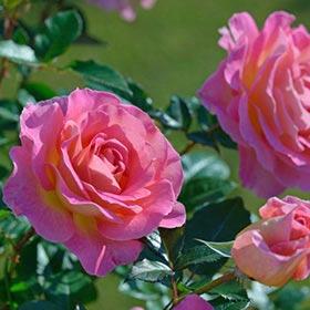 【7号鉢2年生苗】ピンク パラダイス