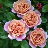 【7号鉢2年生苗】ピンク・ビンテージ(20-21最新品種)
