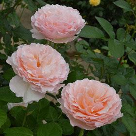【7号鉢2年生苗】プリンセス シャルレーヌ ドゥ モナコ