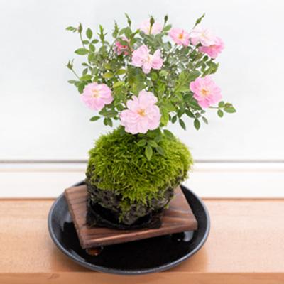 【ミニバラ盆栽】姫乙女 溶岩鉢 ※受け皿、説明書付き