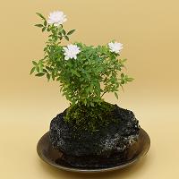 【ミニバラ盆栽】姫乙女 溶岩鉢 ※受け皿付き