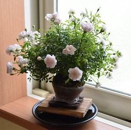 【ミニバラ盆栽】姫乙女 丹波焼鉢 ※受け皿、説明書付き