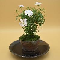 【ミニバラ盆栽】姫乙女 丹波焼鉢 ※受け皿付き