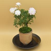 【ミニバラ盆栽】姫乙女 丹波焼円筒鉢 ※受け皿、説明書付き