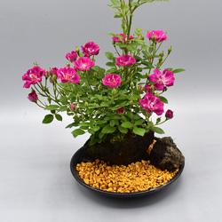 【ミニバラ盆栽】紅レンゲ 盆景タイプ ※受け皿、説明書付き