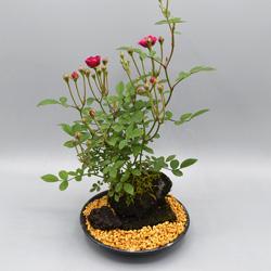 【ミニバラ盆栽】紅スズメ 溶岩鉢 ※受け皿、説明書付き