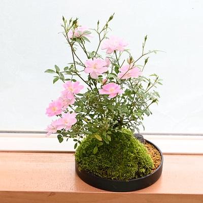 【ミニバラ盆栽】姫乙女 盆景タイプ ※受け皿、説明書付き