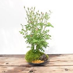 【ミニバラ盆栽】みさき 盆景タイプ ※受け皿、説明書付き
