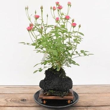 【ミニバラ盆栽】みさき 溶岩鉢 ※受け皿、説明書付き