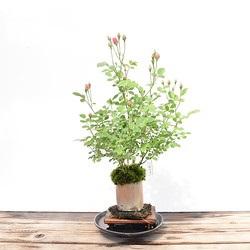 【ミニバラ盆栽】みさき 丹波焼円筒鉢※受け皿、説明書付き