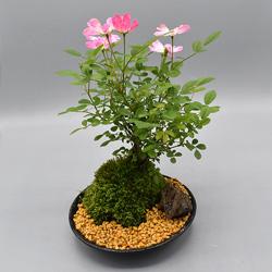【ミニバラ盆栽】ななこばら 盆景タイプ ※受け皿、説明書付き