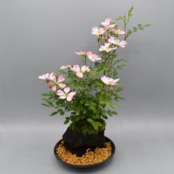 【ミニバラ盆栽】ななこばら 溶岩鉢 ※受け皿、説明書付き
