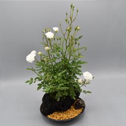 【ミニバラ盆栽】スノードロップ 溶岩鉢 ※受け皿、説明書付き