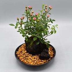 【ミニバラ盆栽】つぼみバラ 溶岩鉢 ※受け皿、説明書付き