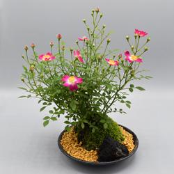 【ミニバラ盆栽】四方の春(よものはる) 盆景タイプ ※受け皿、説明書付き