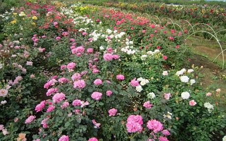 <em>素直に育つバラの苗。</em>東京都内にあるバラ苗専門の温室と農場で育てるバラ苗は、野菜畑で作られています。 素直に育つバラ、病気に強いバラ。そのポイントは台木にあります。<b>特集</b>